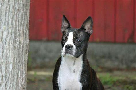 grey boston terrier puppies for sale boston terrier boston terrier boston terriers terriers and boston