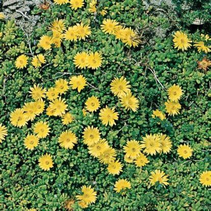 piante per giardino roccioso perenni piante perenni per giardino roccioso
