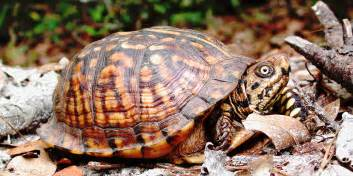 eastern box turtle turtleholic