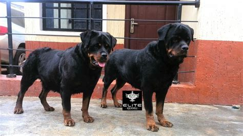 9 month rottweiler pictures 4 months pedigree rottweiler available for a new home pets nigeria