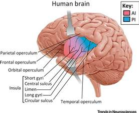 the human frontal lobes third edition functions and disorders science and practice of neuropsychology books the insula an underestimated brain area in clinical