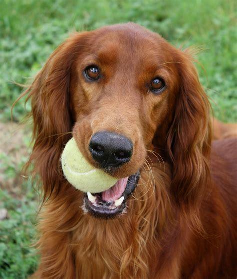 irish setter dog picture irish setter rex an irish setter where i work he loves