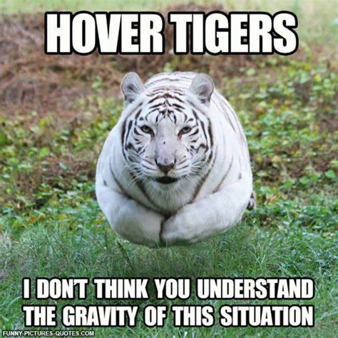 Tiger Memes - funny tiger pictures with quotes quotesgram