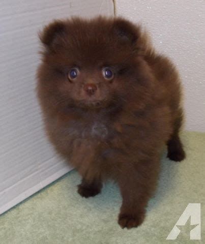 brown pomeranian puppies pomeranian chocolate