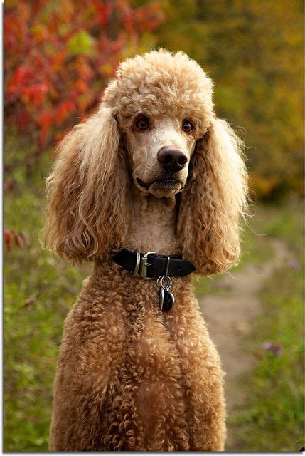 poodle lifespan miniature poodle 17 best images about for the four legged children on
