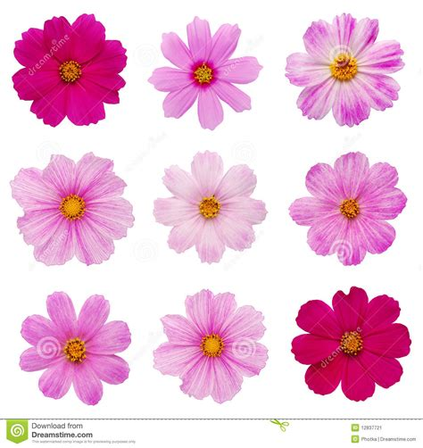 images flowers cosmos flower clipart clipground