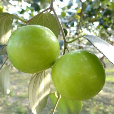 Bibit Buah Apel buah tanamn buah apel india jualbenihmurah