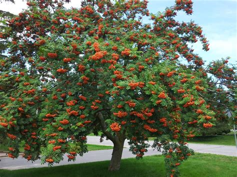 large mature mountain ash tree in late summer showing