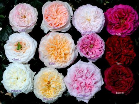 223 best images about roses for cut flower industry on pinterest
