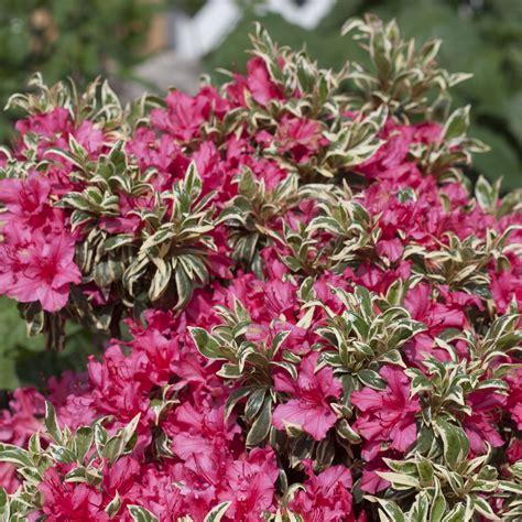 Set Kulot Azalea Yellow rhododendron