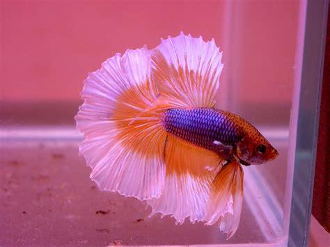 beby bett baby betta fish what do baby betta fish look like