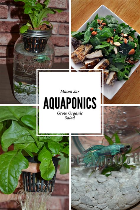 grow   salad  mason jar aquaponics indoor herb