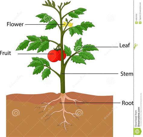 lade da giardino prezzi mostra delle parti di una pianta di pomodori illustrazione