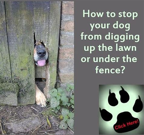 how to stop my from digging dogs your and lawn on