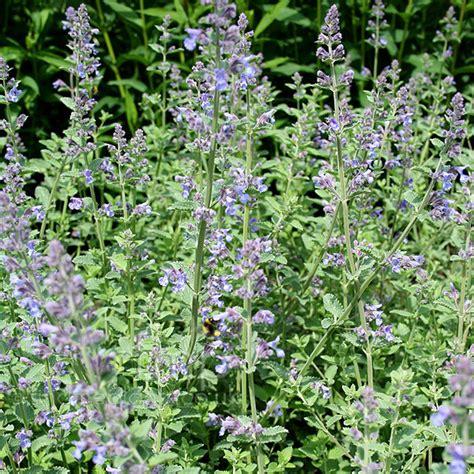 a big photo of nepeta x faassenii from findmeplants