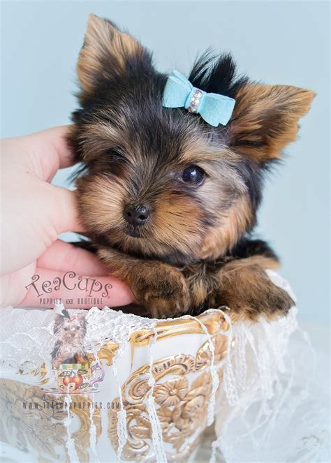 yorkie clothes for sale the most precious yorkies you seen teacups puppies boutique