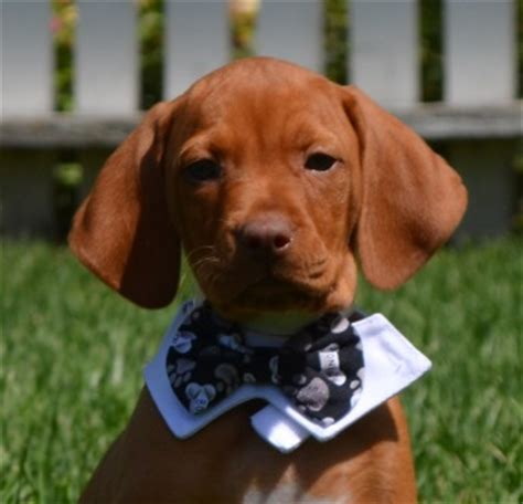 gun dogs for sale trained vizslas gun dogs and dogs for sale golden retrievers