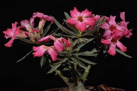Biji Bunga Adenium 30 jenis jenis adenium spesies ridho bayu zhadewo