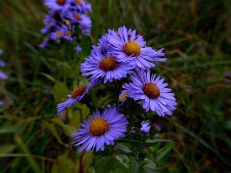 Blue Aster Flowers Photo Jpg Hi Res 720p Hd Aster Flower Gallery