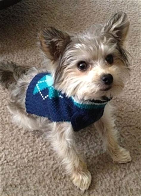 yorkie rescue fort myers pray for max