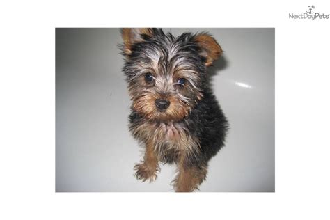 12 week teacup yorkie teacup yorkie puppies for sale in ny breeds picture