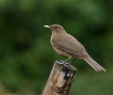 clay colored thrush author christian kelsen clay colored thrush naturephotos