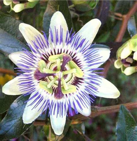 fiore frutto della passione frutto della passione o maracuj 224 propriet 224 e utilizzi