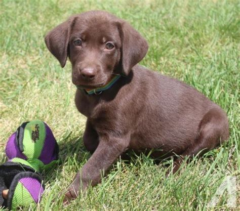 chocolate lab puppies for sale in mn akc chocolate lab puppies for sale in otsego minnesota classified