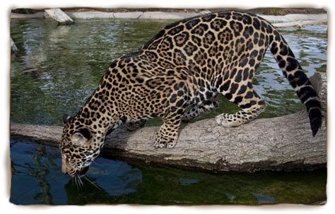 where do jaguars live in south america untitled document www forsyth k12 ga us