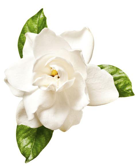 gardenia flower delivery gardenia extract lush fresh handmade cosmetics uk