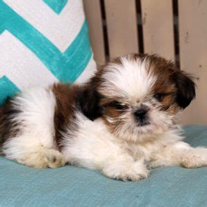 shih tzu puppies for sale in baltimore md shih tzu puppies for sale in de md ny nj philly dc and baltimore