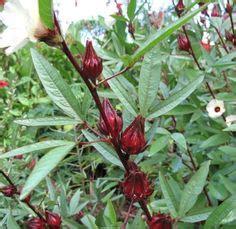 Tanaman Obat Herbal Pletekan hemigraphis search plantas pared verde