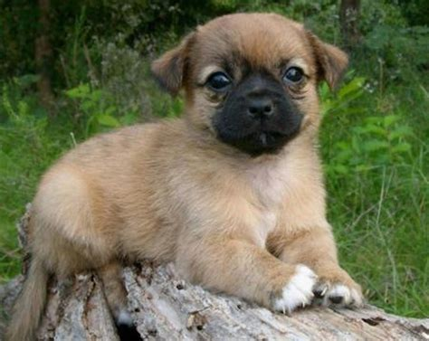 mixed pug puppies pom a pug pomeranian pug mix info temperament puppies pictures