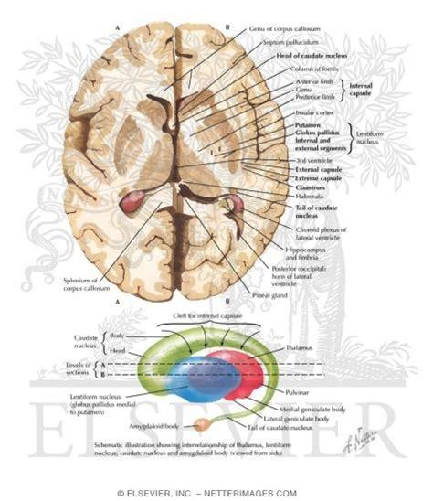 axial section of brain basal ganglia basal nuclei ganglia