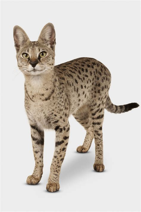 cat breed seven hybrid cat breeds profiles of hybrid house cats
