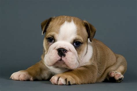 bulldog puppies ny purebred puppies for sale westchester ny nyc ct