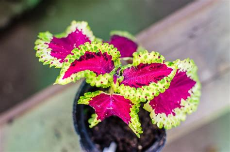 coleus  purple leaves  yellow green jagged leaves