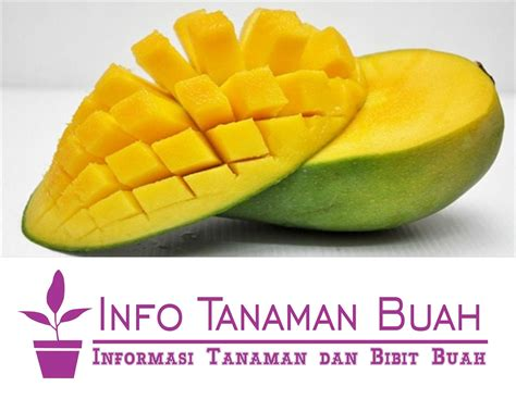 Bibit Pisang Ambon Dengan Rasa Yang Sangat Manis bibit mangga harum manis buah mangga asli indonesia