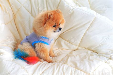 in house dog grooming cute pet in house pomeranian grooming dog wear clothes on bed dog beds and costumes