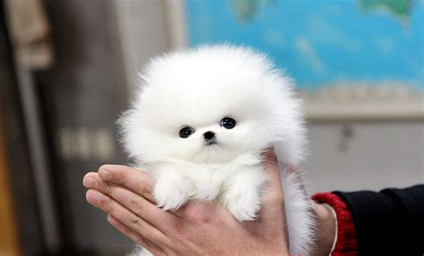 white pomeranian for sale teacup puppy teacup puppy for sale white teacup pomeranian addel
