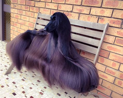 model rambut 3015 anjing berambut panjang dan halus ini berpose layak model