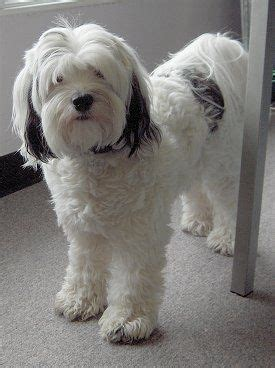 best cuts for tibetan terrier 183 best images about tibetan terriers and bearded collies