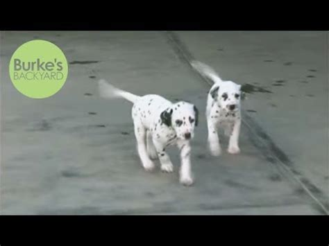 burkes backyard dogs the dalmatian pet dog documentary english funnydog tv