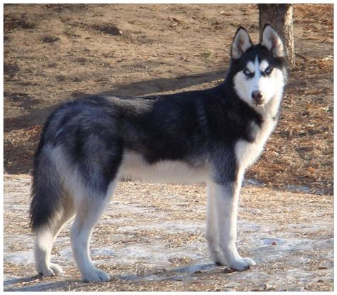 siberian husky puppy wolf husky puppies with blue newhairstylesformen2014