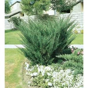 shop 2 quart sea green juniper accent shrub l3045 at