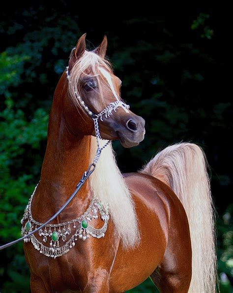an horse kehilan arabians breeders of straight egyptian arabian horses