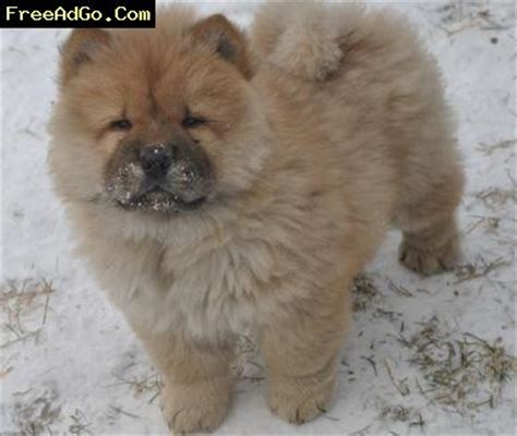 puppies for adoption in pittsburgh pa pennsylvania home raise chow chow puppies for adoption pittsburgh pa dogs