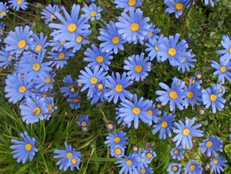 Fiori Azzurri Estivi by Fioriture Estive L Agatea Pollicegreen