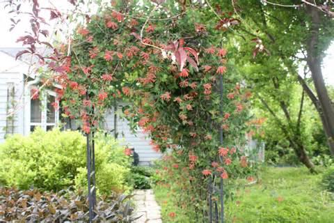 Trellis Emerson Honeysuckle Donna S Garden
