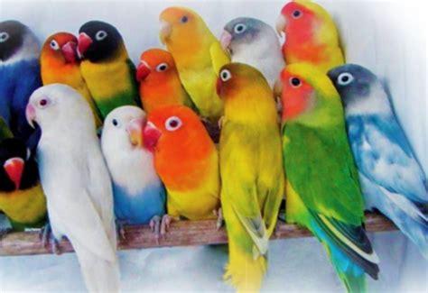Kecambah Jagung Pakan Ternak jenis pakan terbaik untuk usaha ternak lovebird